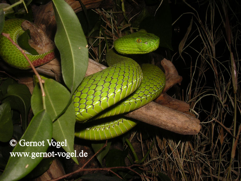 Trimeresurus gumprechti female