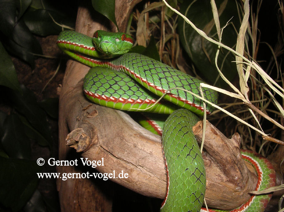 Trimeresurus gumprechti male 1c