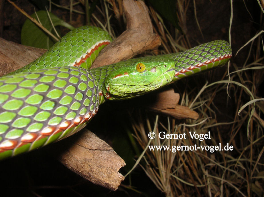 Trimeresurus gumprechti male 2b