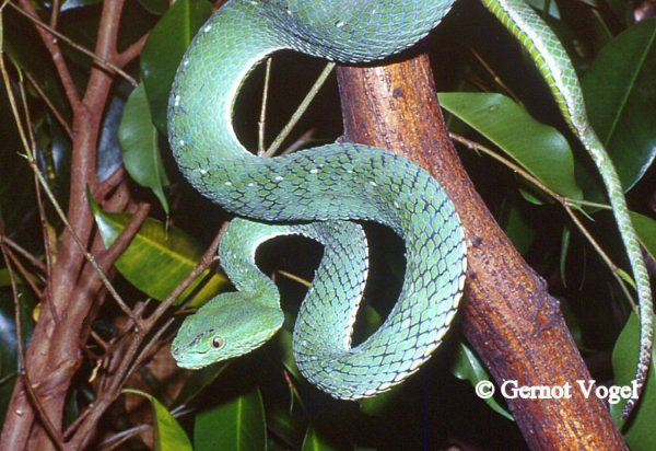 Trimeresurus Vogeli male